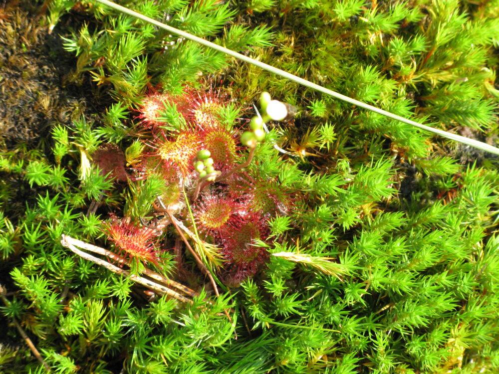 La droséra, plante carnivore des tourbières