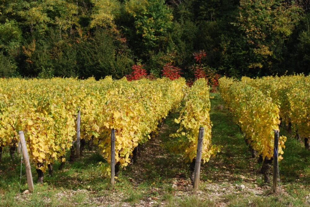 Vignes de Poligny en automne