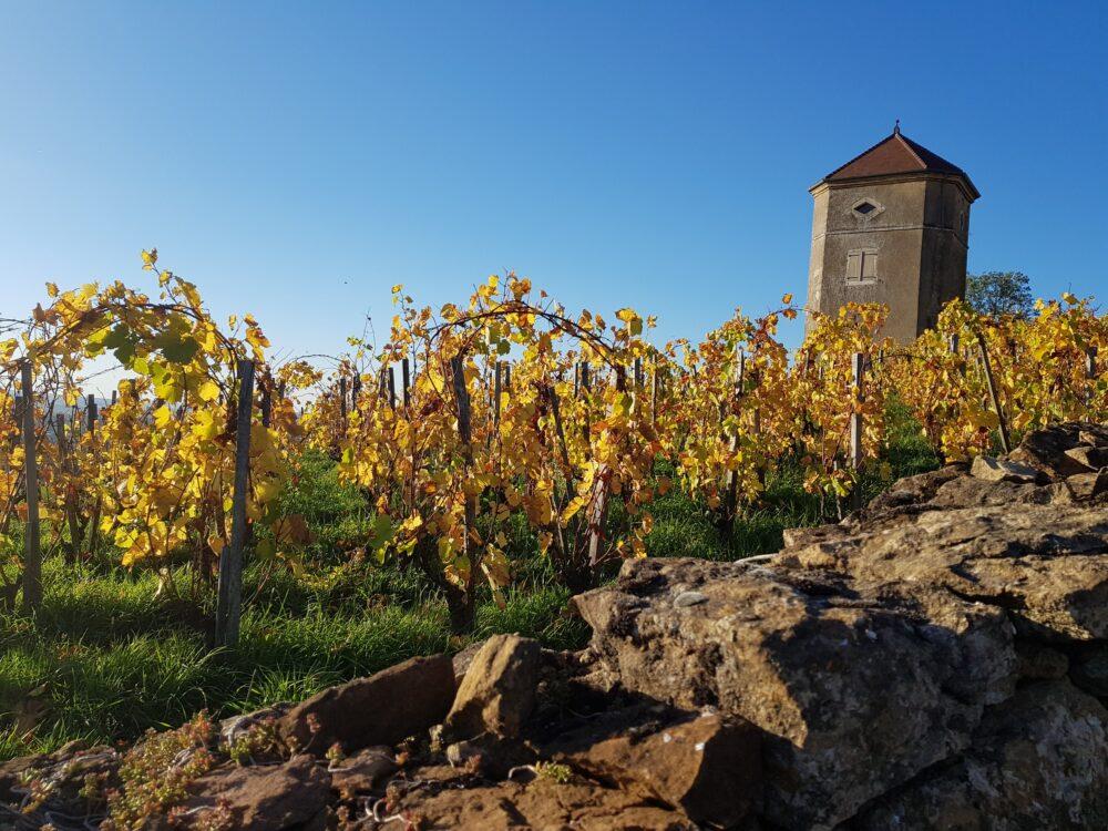 Vignes à Arbois et tour du Curon