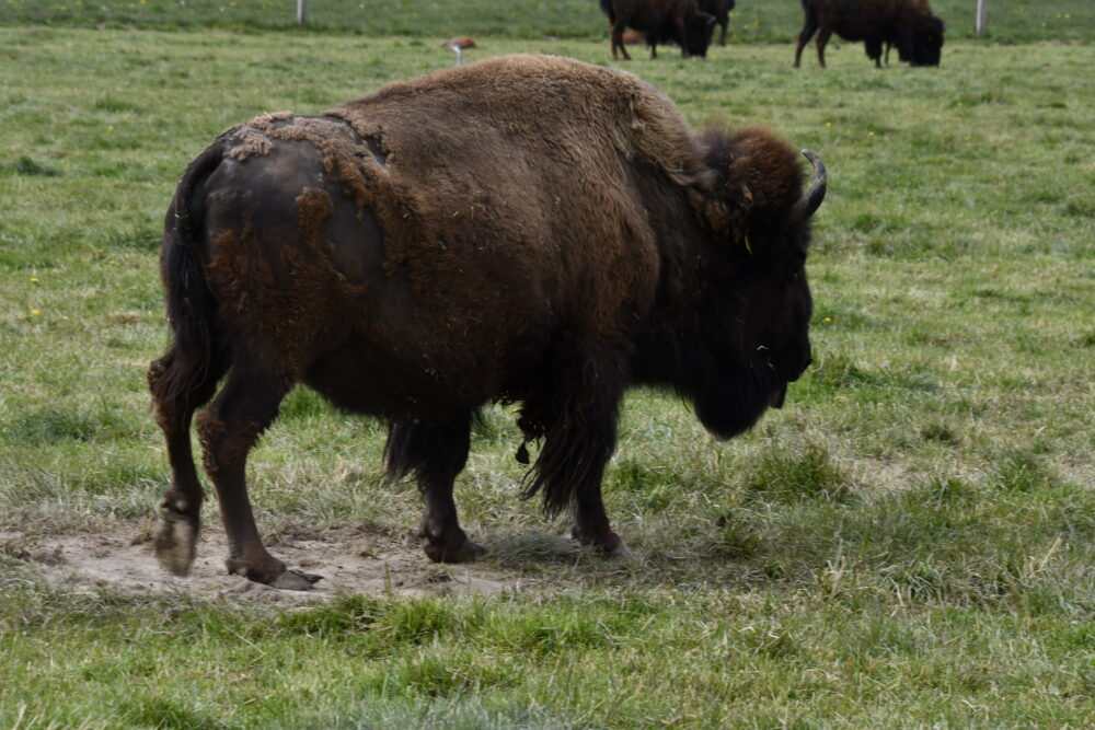 Elevage de bisons à Avenches